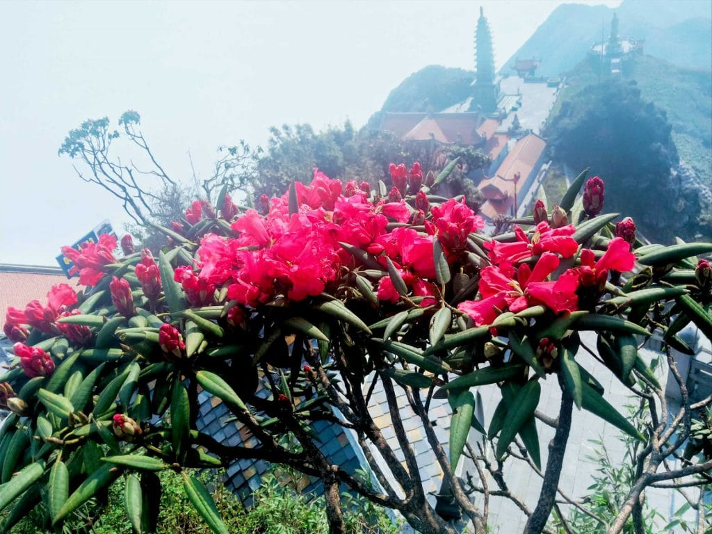 Hoa đỗ quyên dọc đường Fansipan