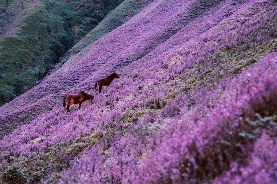 Ngắm hoa chi pâu mộng mơ trên đỉnh Tà Chì Nhù