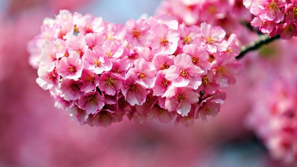 Hoa đỗ quyên xinh đẹp