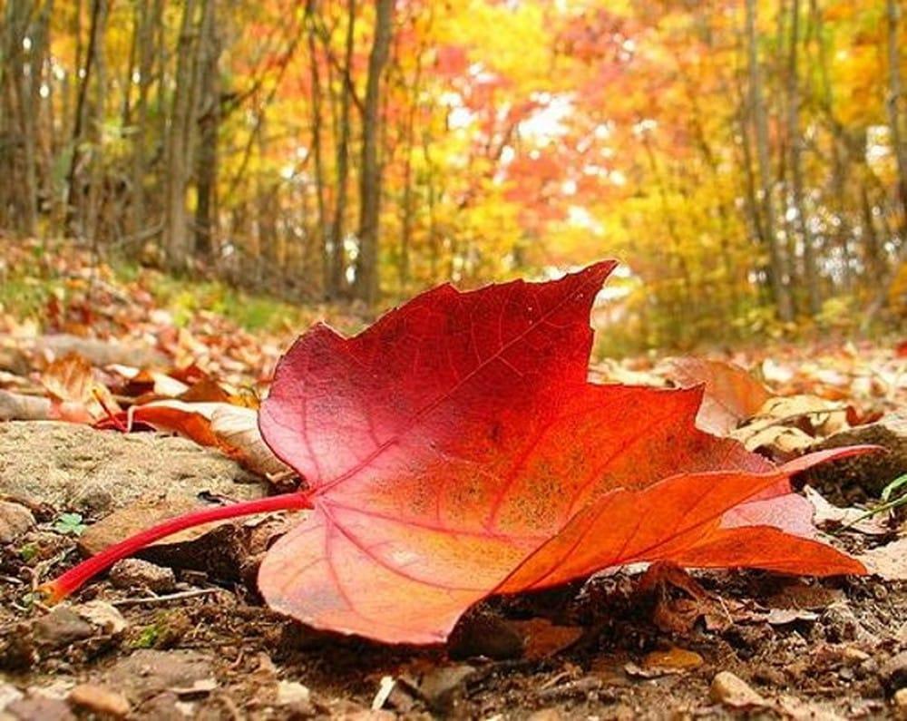 Leo núi Tây Bắc - ngắm khu rừng nhuộm đỏ lá phong