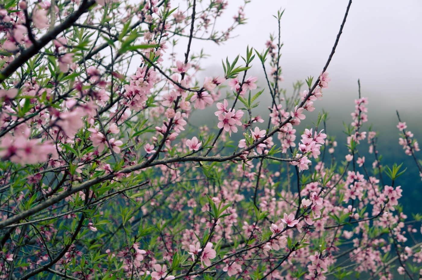 Hoa đào khoe sắc xuân rực rỡ trên đỉnh Lùng Cúng