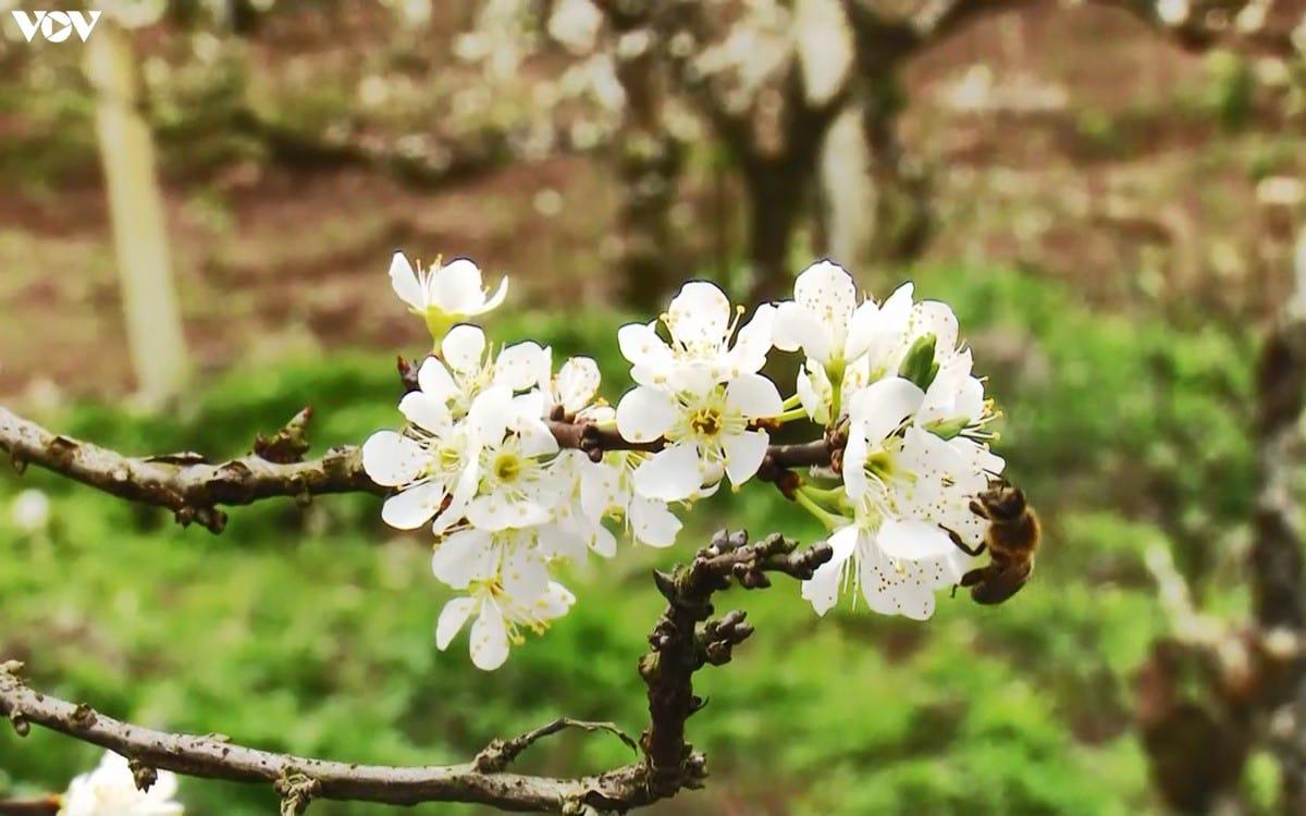 Mùa hoa mận trên núi Lùng Cúng