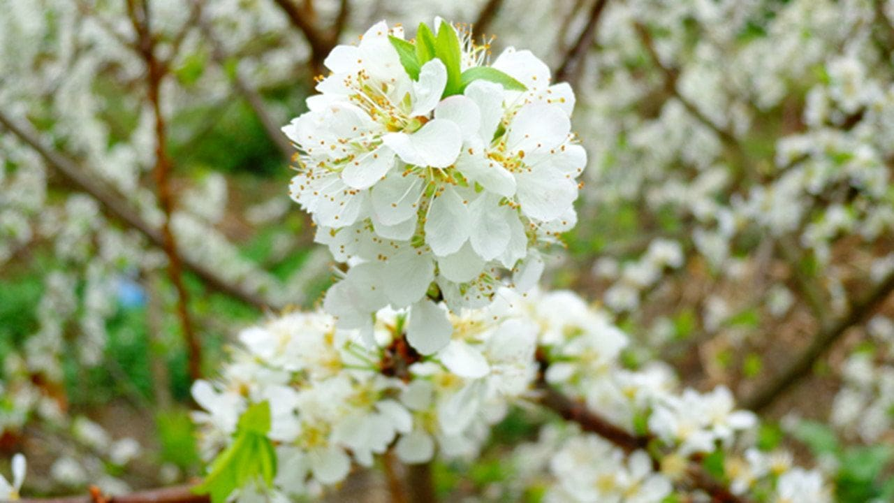 Hoa mận trắng