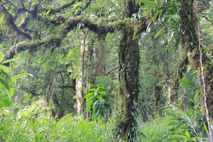 rừng chè 1000 năm tuổi